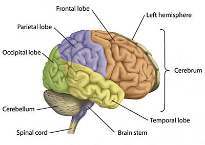 The brain ccuart Choice Image