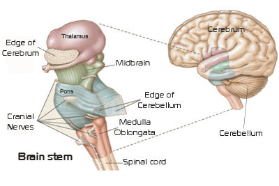 the brainstem, Human Body