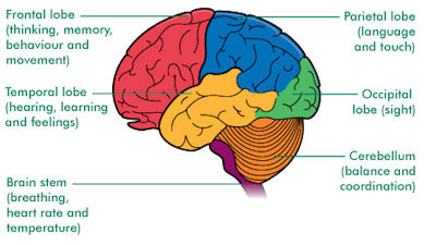 Image result for cerebrum